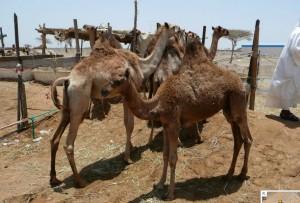 Mercato cammelli